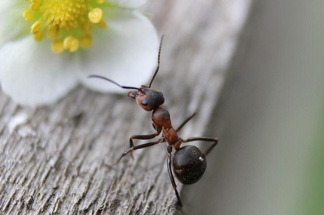 Mrówki w mieszkaniu