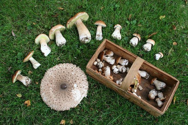 Jak zbierać grzyby